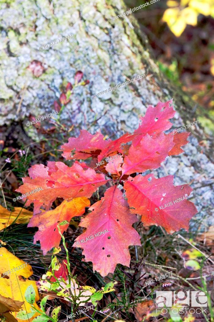 Stock Photo: Small oak tree in autumn - Bavaria/Germany.