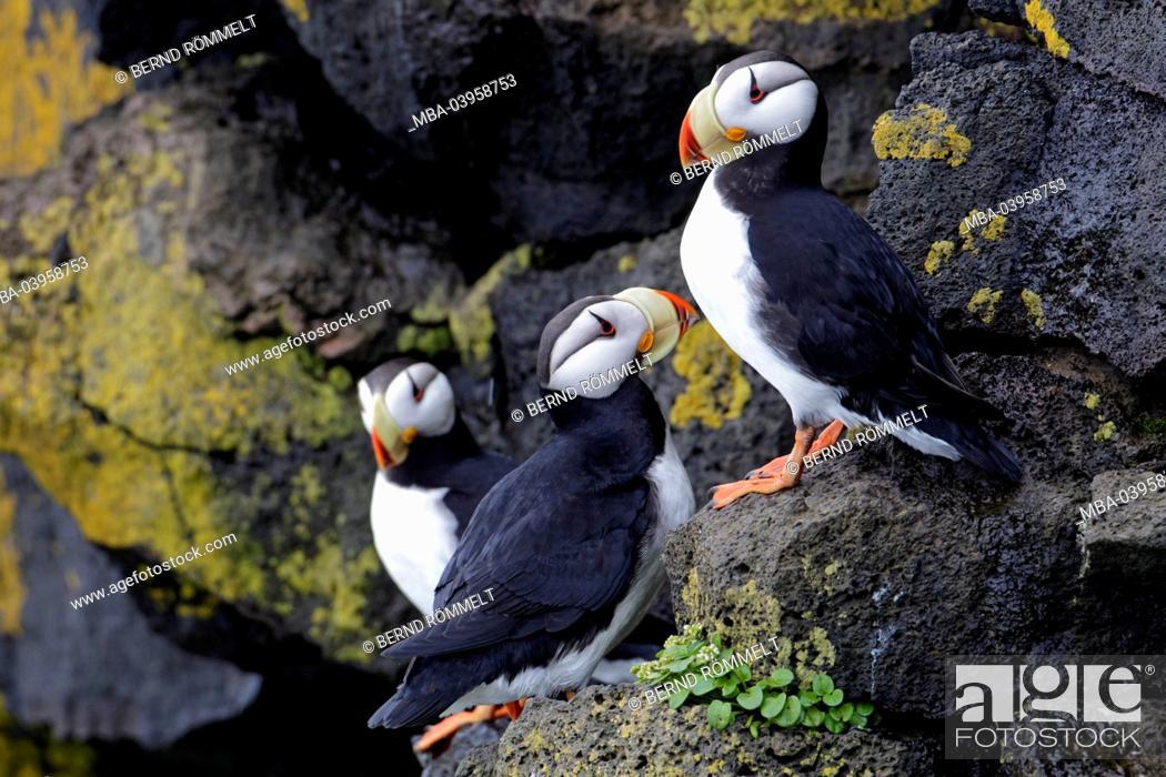 Stock Photo: North America, the USA, Alaska, parrot diver,.