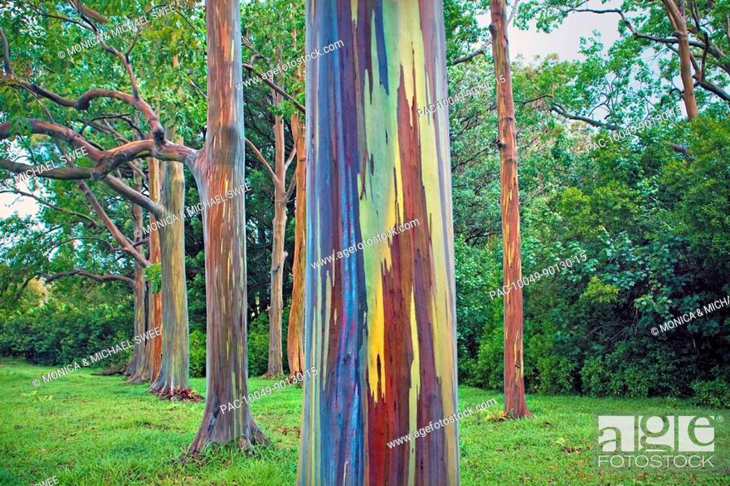 hawaii maui hana rainbow eucalyptus tree trunk stock photo