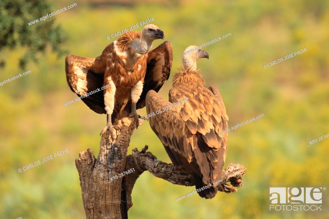 Stock Photo: Griffon vulture (Gyps fulvus). Parque Nacional de Monfrague, Extremadura, Spain.