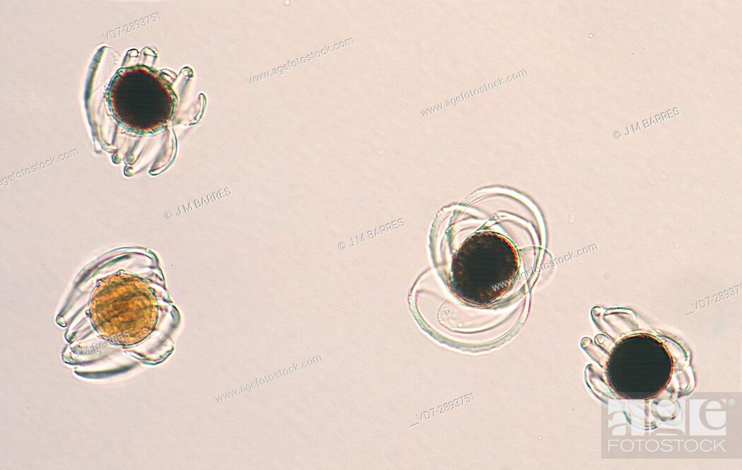 Stock Photo: Horsetail or snake grass (Equisetum) spores with elaters. Optical microscope, magnification X200.