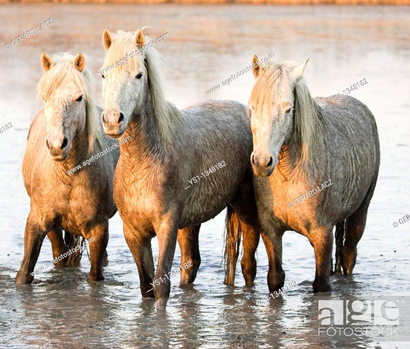 Stock Photo: CAMARGUE HORSE, HERD STANDING IN SWAMP, SAINTES MARIE DE LA MER IN SOUTH OF FRANCE.