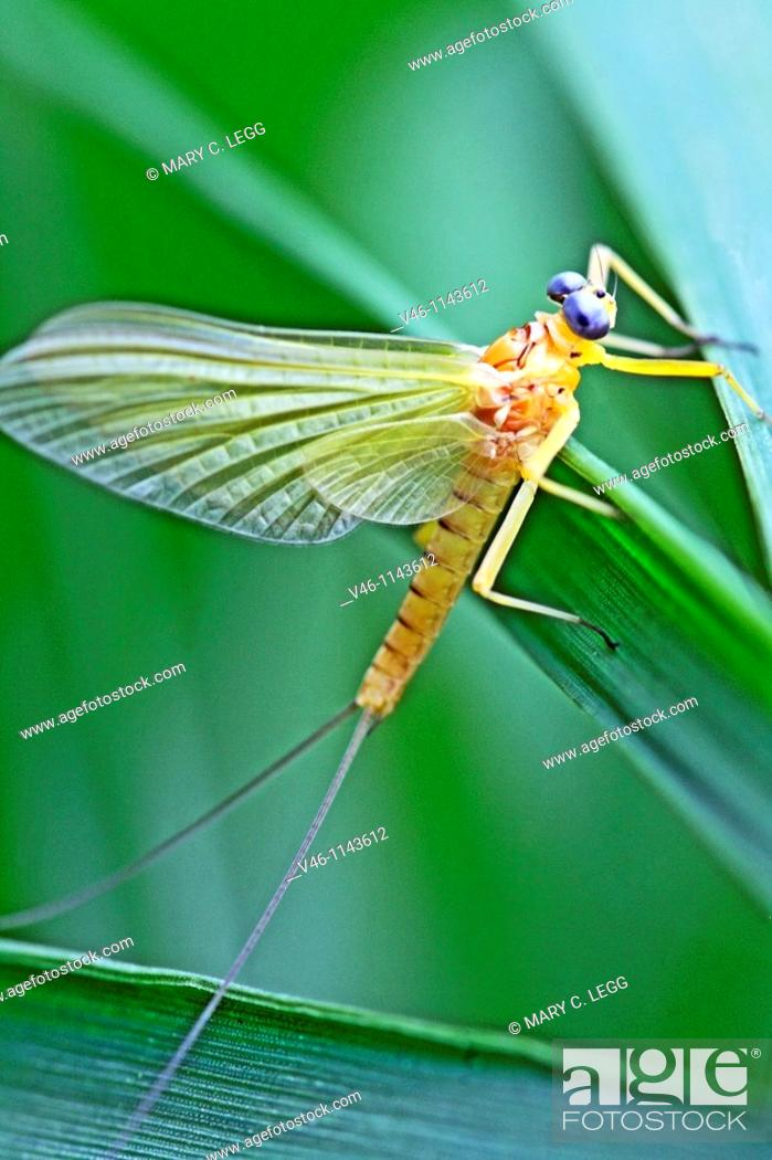 Stock Photo: Mayfly clings to marsh grass  Yellow mayfly with grey eyes  Mayflies live one to four years in the river bed or ponds and emerge to mate and die shortly after.