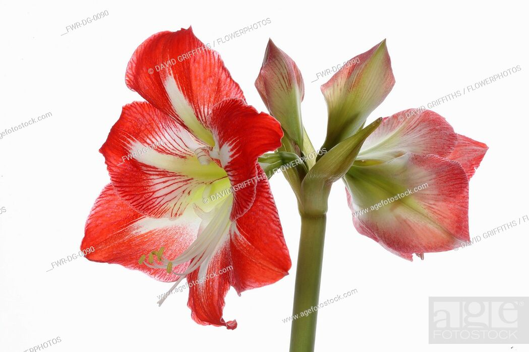 Imagen: Amaryllis, Amaryllidaceae Hippeastrum, deep pink flower heads on stem against a pure white background.