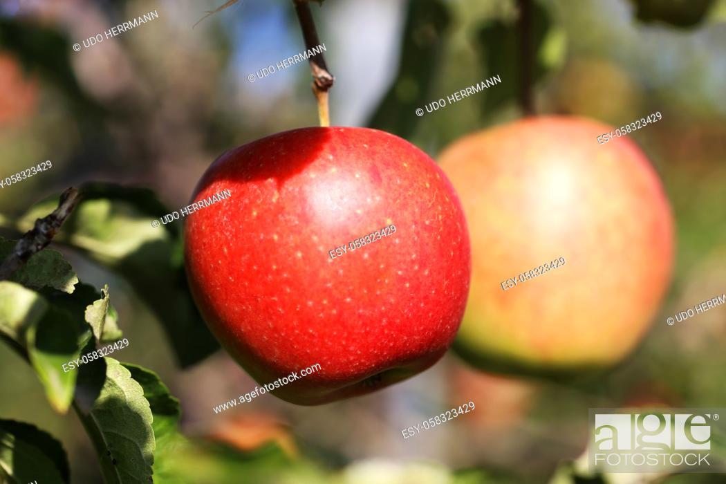 Stock Photo: Ripe apple hanging on a tree.