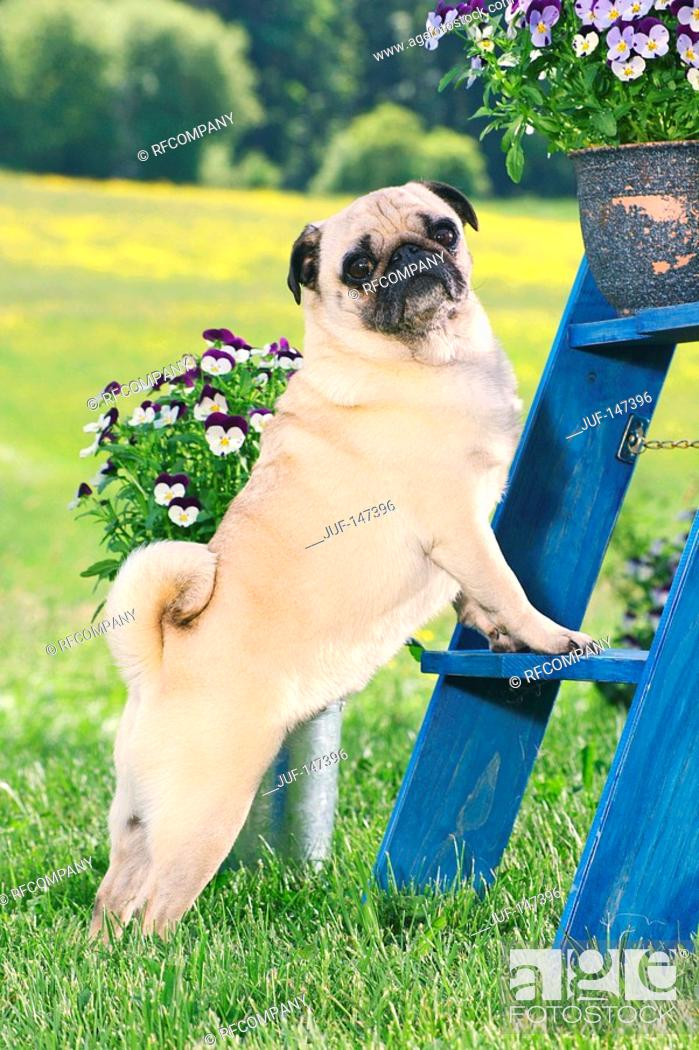 Imagen: pug - standing on scaffold.