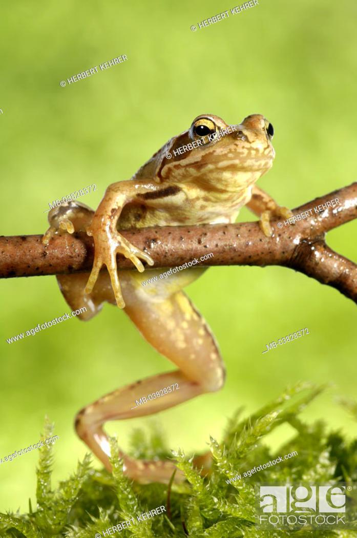 Stock Photo: Grass frog, Rana temporaria, branch, moss,.