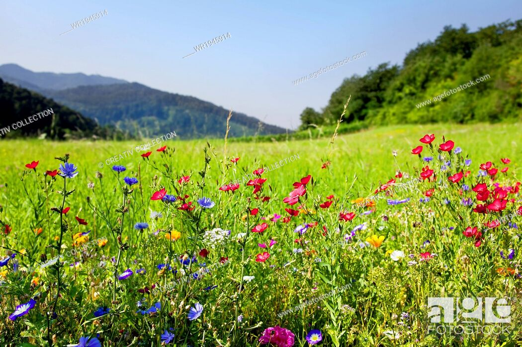 Stock Photo: Flora, Black Forest, Hayfield, Cornflower, Vacation, Prosper, Travel Agency, Summer, Holiday, Nature, Sky, Mountain, Grass, Travel, Flower, Coloured, Backgrounds, Plant, Scenic, Grassland, Country, Spring, Field, Meadow, Silence, Season, Petal, Summer Vacation, Blossom, Landscape