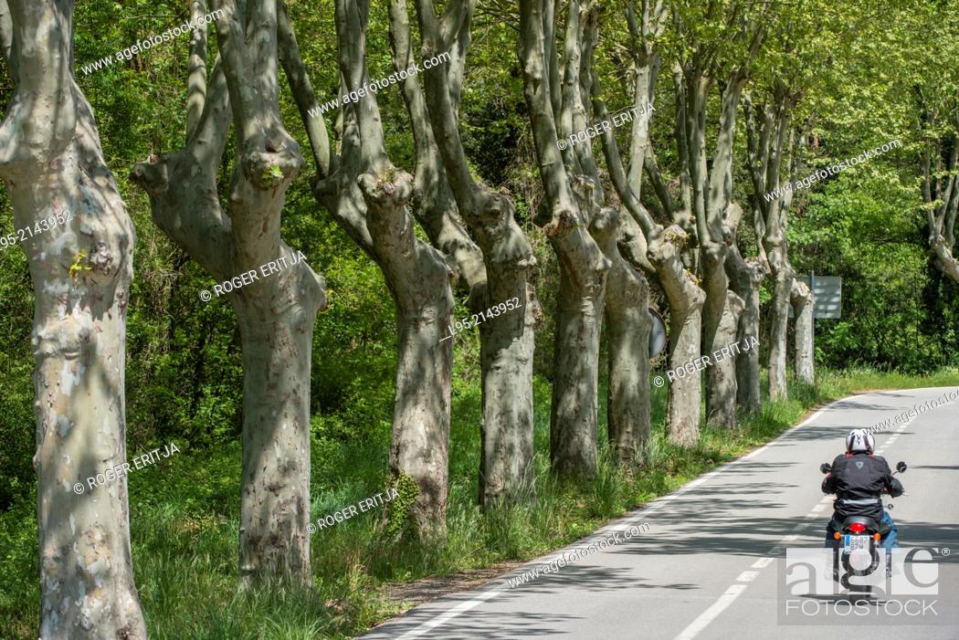 Stock Photo: Hybrid planes (platanus hybrida) along a secondary road with passing motorcycle, Spain.