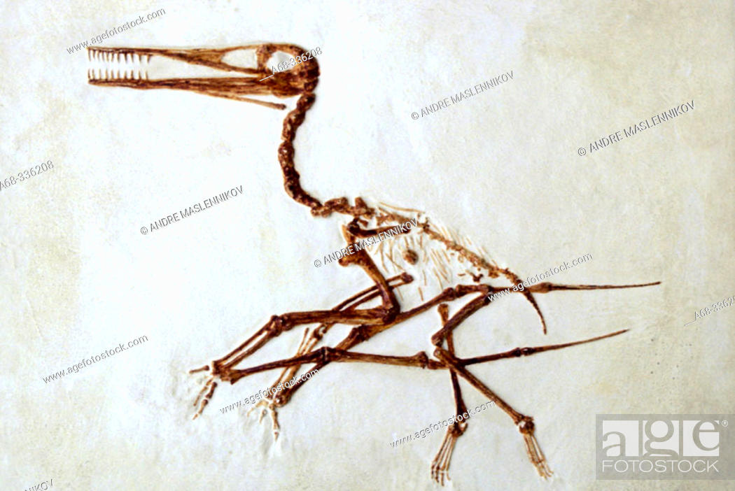 Stock Photo: Fossil, Pterodactylus. Paleontological museum in Uppsala. Sweden.