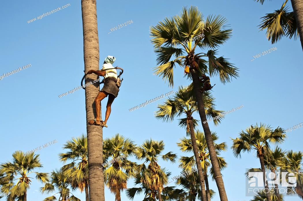 Stock Photo: Palm tree climber collecting toddy ( palm tree wine) in Telangana state (India).
