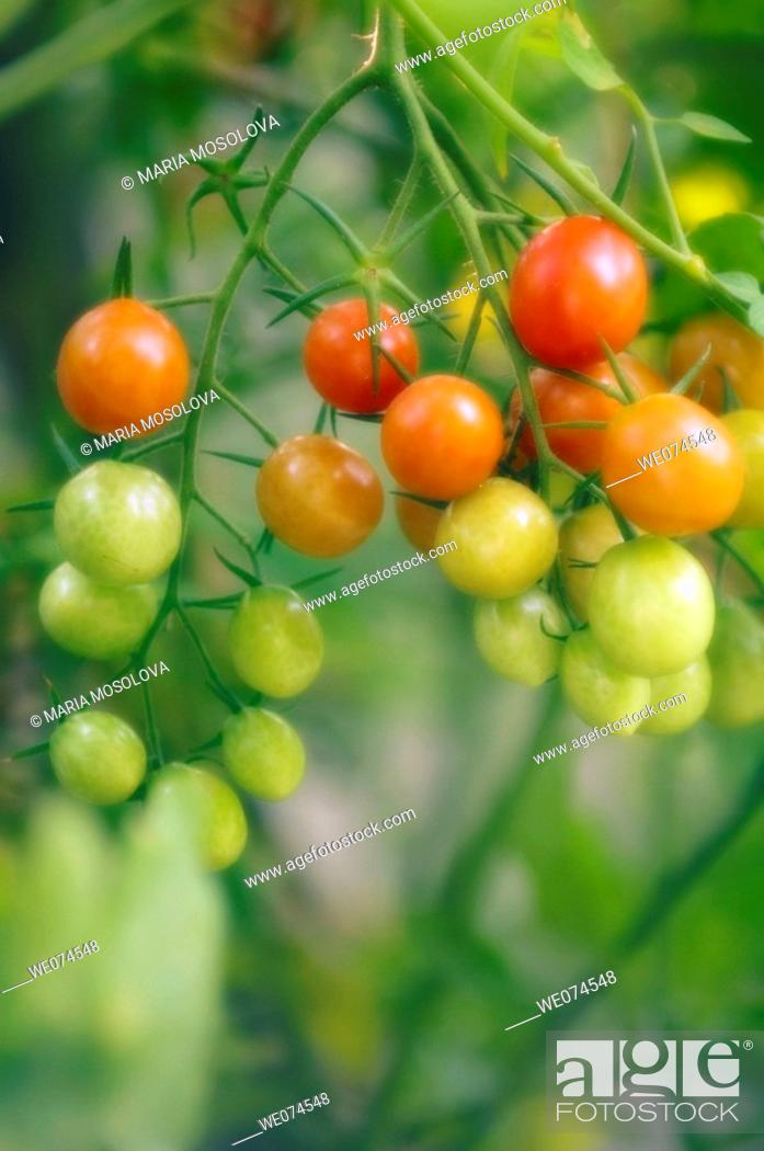 Stock Photo: Cherry Tomatoes Growing in the Garden. Solanum lycopersicon. August 2007, Maryland, USA.
