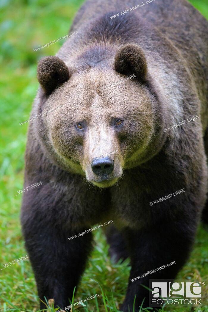 Stock Photo: Brown Bear, Ursus arctos, Bavaria, Germany.