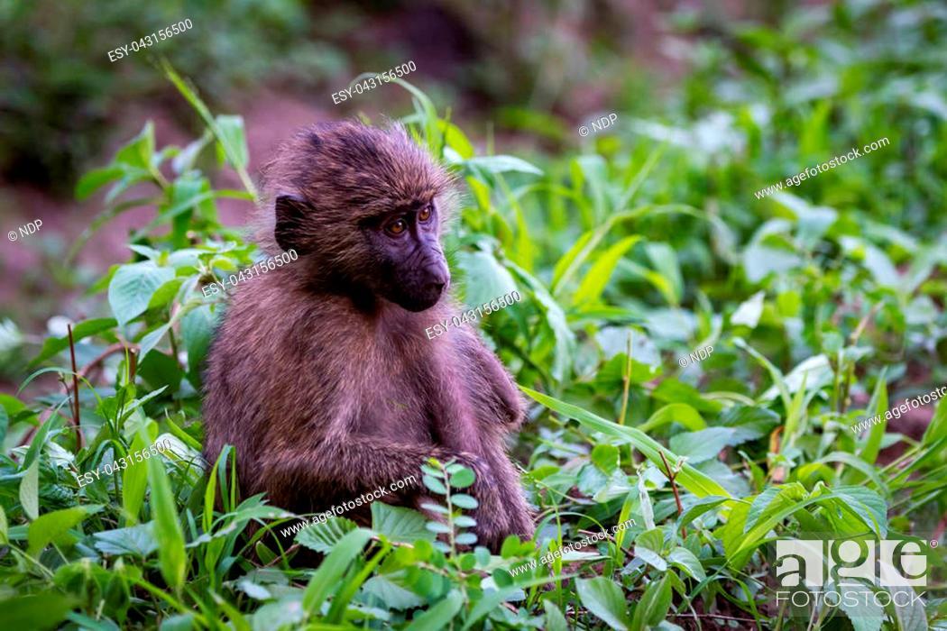 Stock Photo: Baby olive baboon sitting among leafy plants.