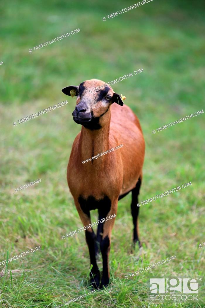 Stock Photo: Cameroon Sheep.