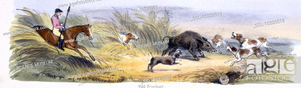 Stock Photo: Vignette from a lithographic plate showing a hunter and his dogs chasing a wild boar. Taken from 'The Pig' in 'Graphic Illustrations of Animals - showing their.