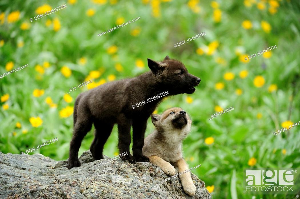 Stock Photo: Gray wolf Canis lupus babies howling Bozeman Montana.