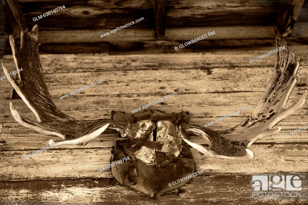 Close-up of a hunting trophy mounted on a wall, Old Trail