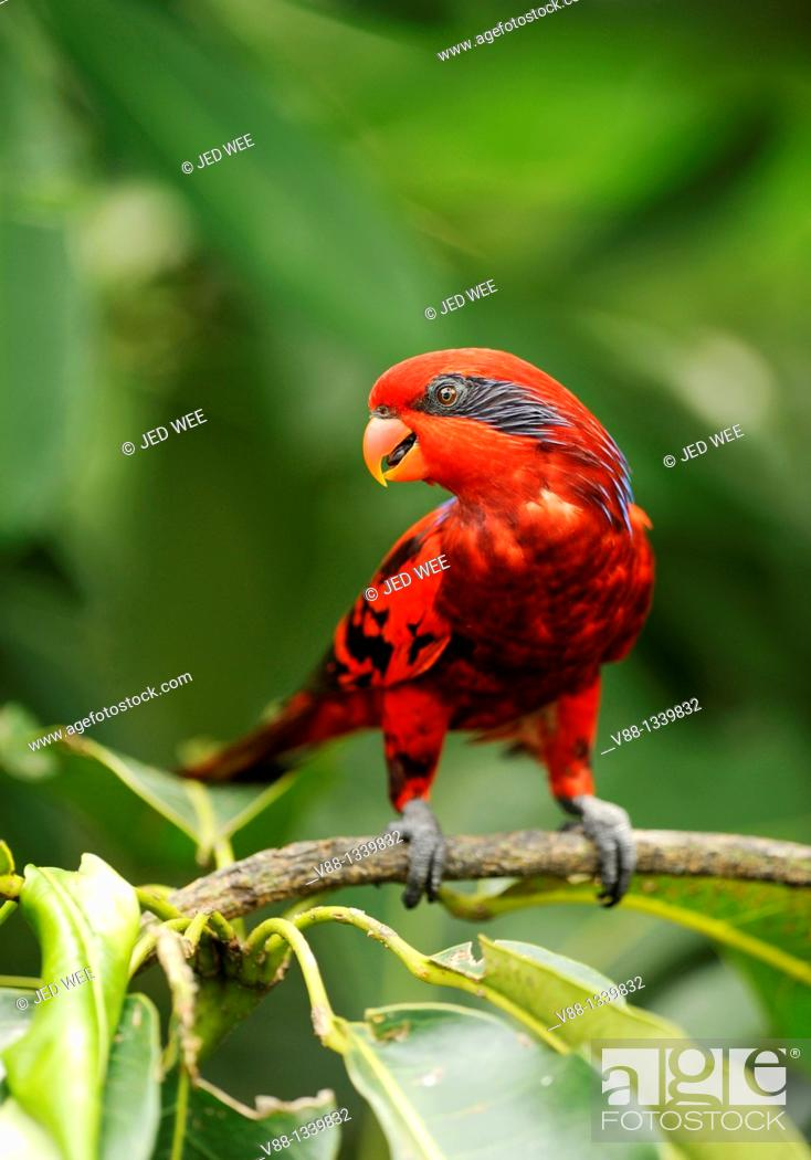 Stock Photo: Blue-streaked Lory (Eos reticulata), Jurong Bird Park, Singapore.