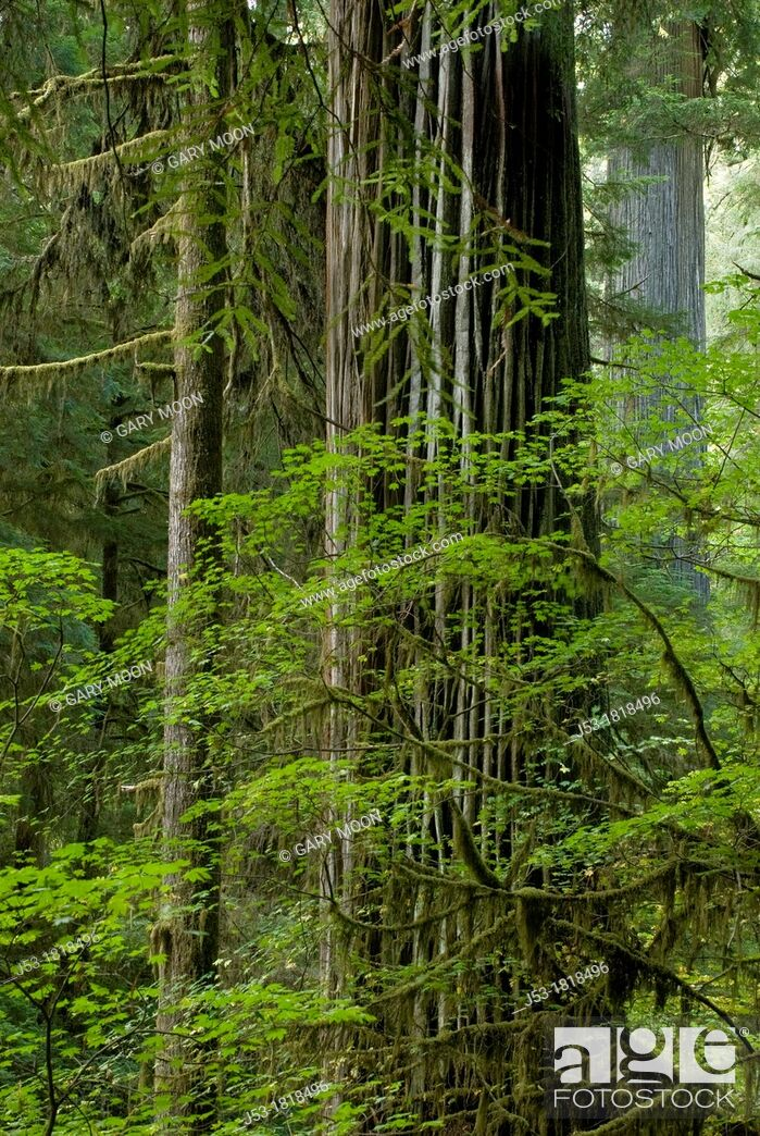 Photo de stock: Old growth coast redwood forest, Jedediah Smith Redwoods State Park, Crescent City, California.
