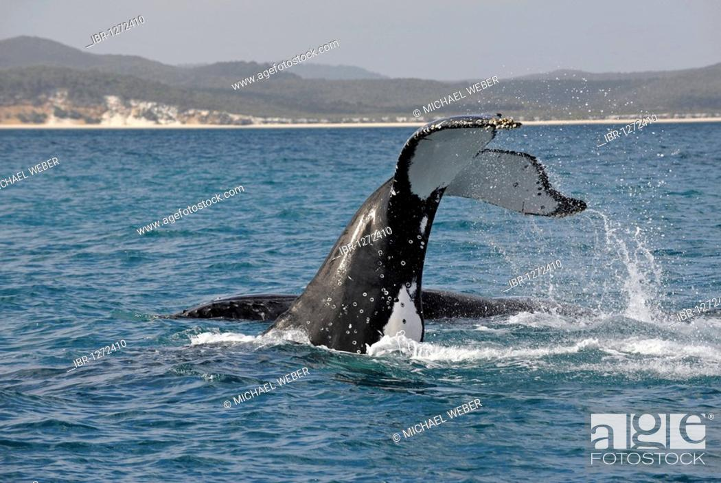 Photo de stock: Species-specific tail slap, slap of the tail fin, of a Humpback Whale (Megaptera novaeangliae) in front of Fraser Island, Hervey Bay, Queensland, Australia.
