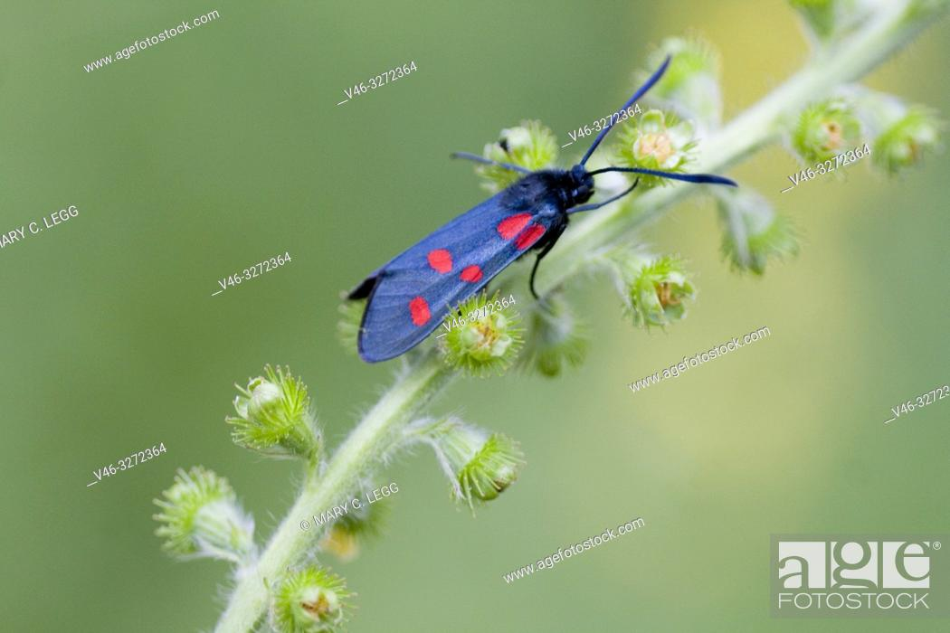 Stock Photo: Narrow-bordered Five-spot Burnet, Zygaena lonicerae, a midnight blue moth with five red spots found in calcareous grasslands amd juniper heath.