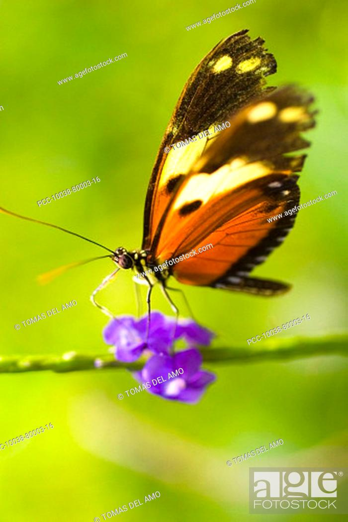 Stock Photo: A beautiful brown and orange butterfly rests upon a bright purple flower.