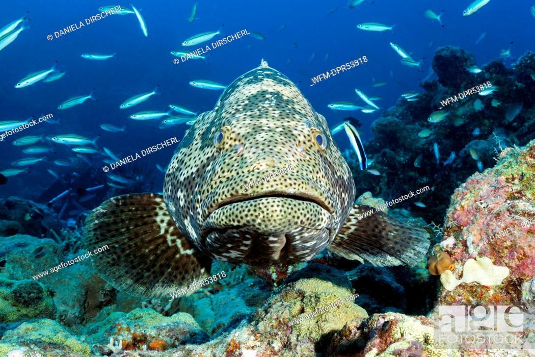 Stock Photo: Malabar Grouper at Cleaning Station, Epinephelus malabaricus, Great Barrier Reef, Australia.