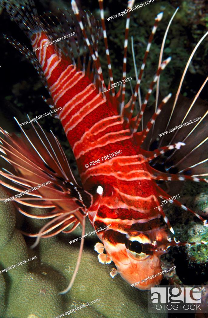 Stock Photo: Broadbarred Firefish (Pterois antennata).