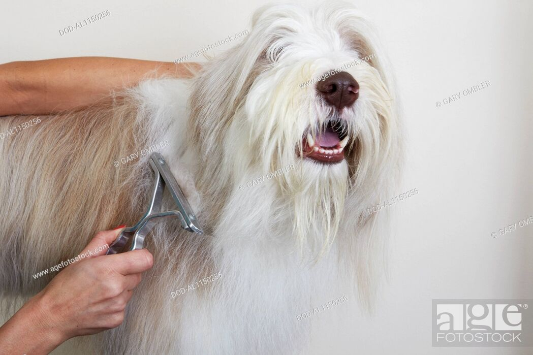 Imagen: Bearded Collie, de-matting comb through coat in grooming parlour.