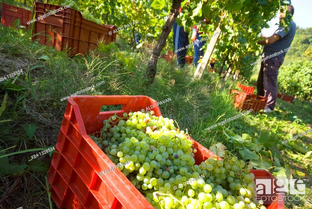 Stock Photo: Italy, Veneto, Conegliano, Crevada, vintage of prosecco grapes.