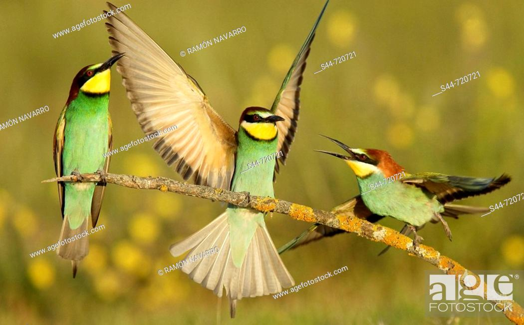 Stock Photo: European Bee Eaters (Merops apiaster). Andalusia. Spain.