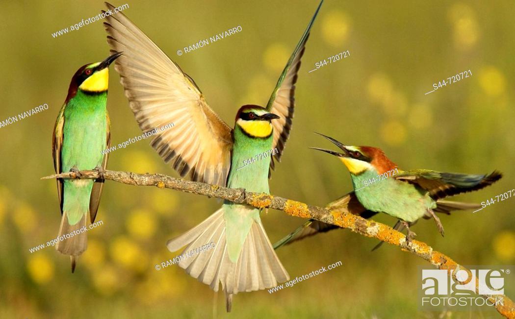 Stock Photo: European Bee Eaters (Merops apiaster). Andalusia. Spain.