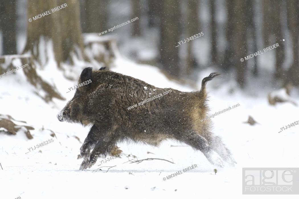 Stock Photo: Running Wild boar (Sus scrofa) in winter, Tusker, Bavaria, Germany, Europe.