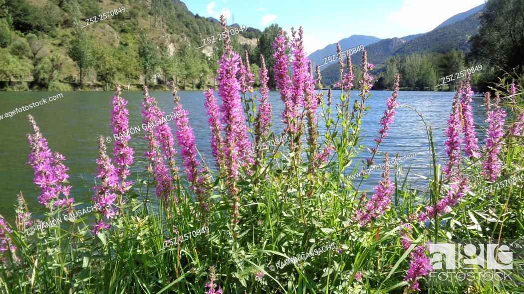 Stock Photo: Purple loosestrife (Lythrum salicaria). Catalonia, Spain.