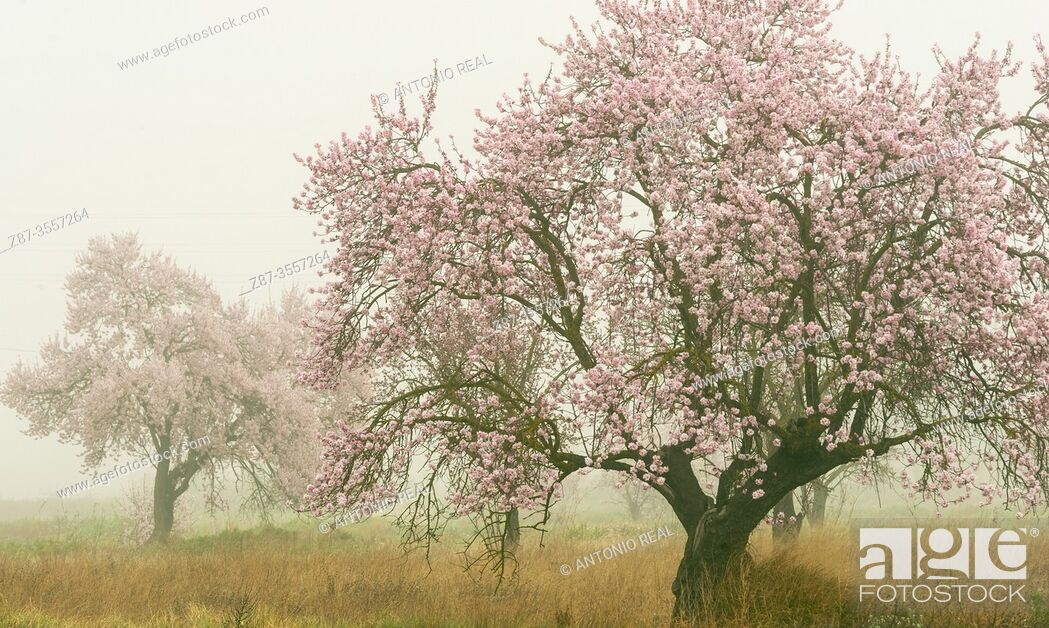 Stock Photo: Almond trees in bloom with fog, Almansa, Albacete province, Castile-La Mancha, Spain.