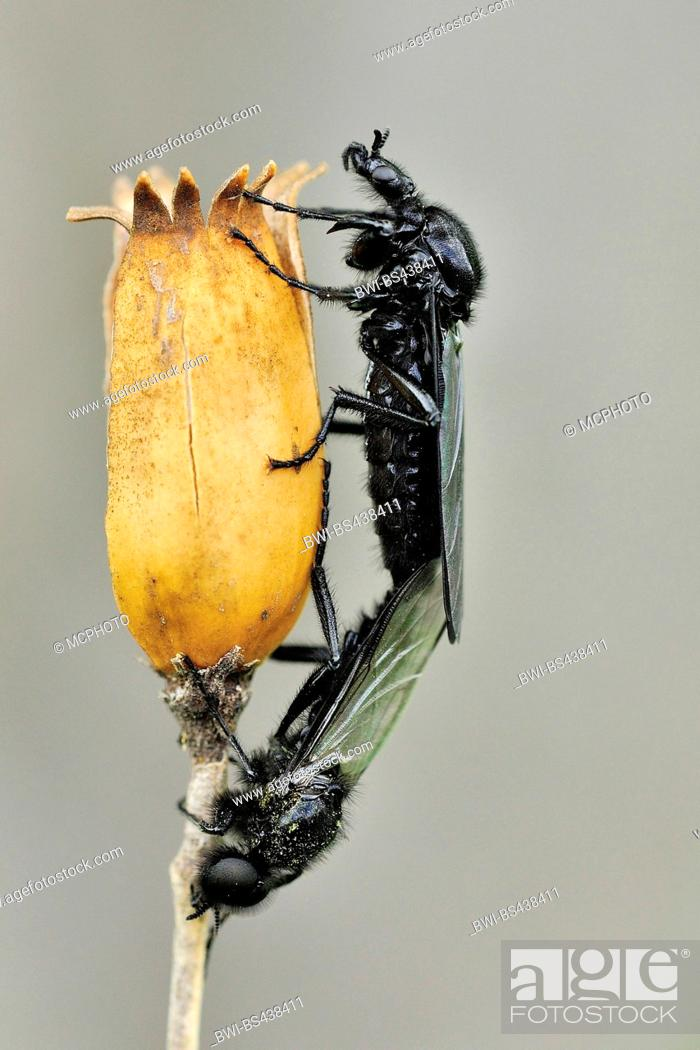 Stock Photo: St.Mark's fly (Bibio marci), copulation at a capsule, Germany.