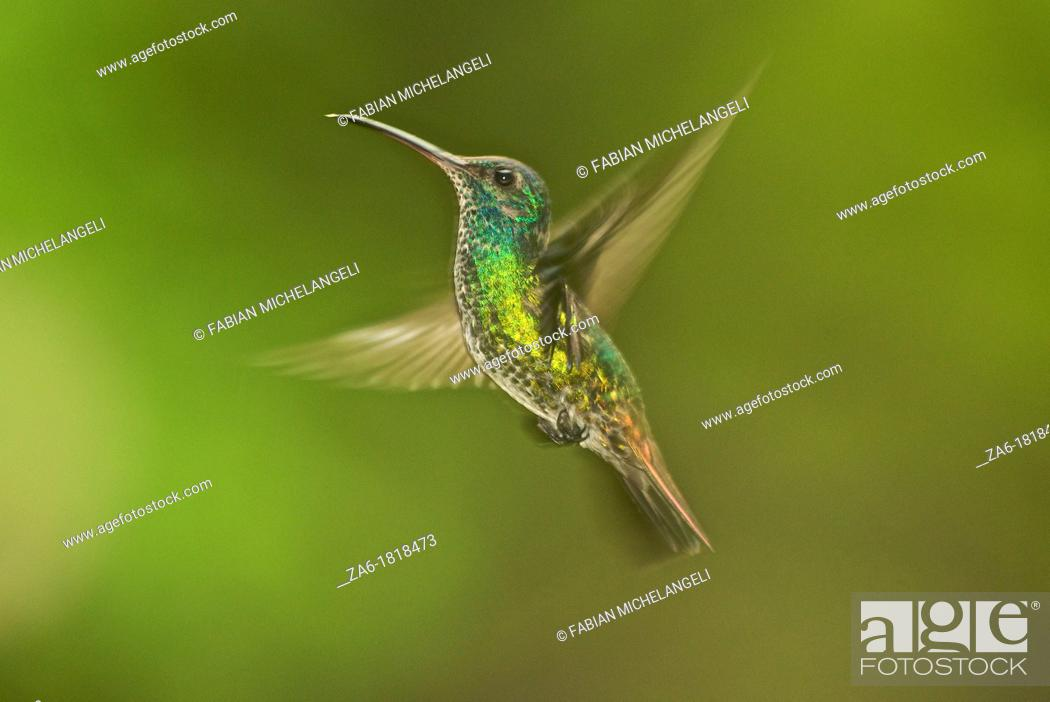 Stock Photo: Golden-tailed saphire Chrysuronia oenone, female bird hovering in the cloud forest near Caracas, Venezuela.