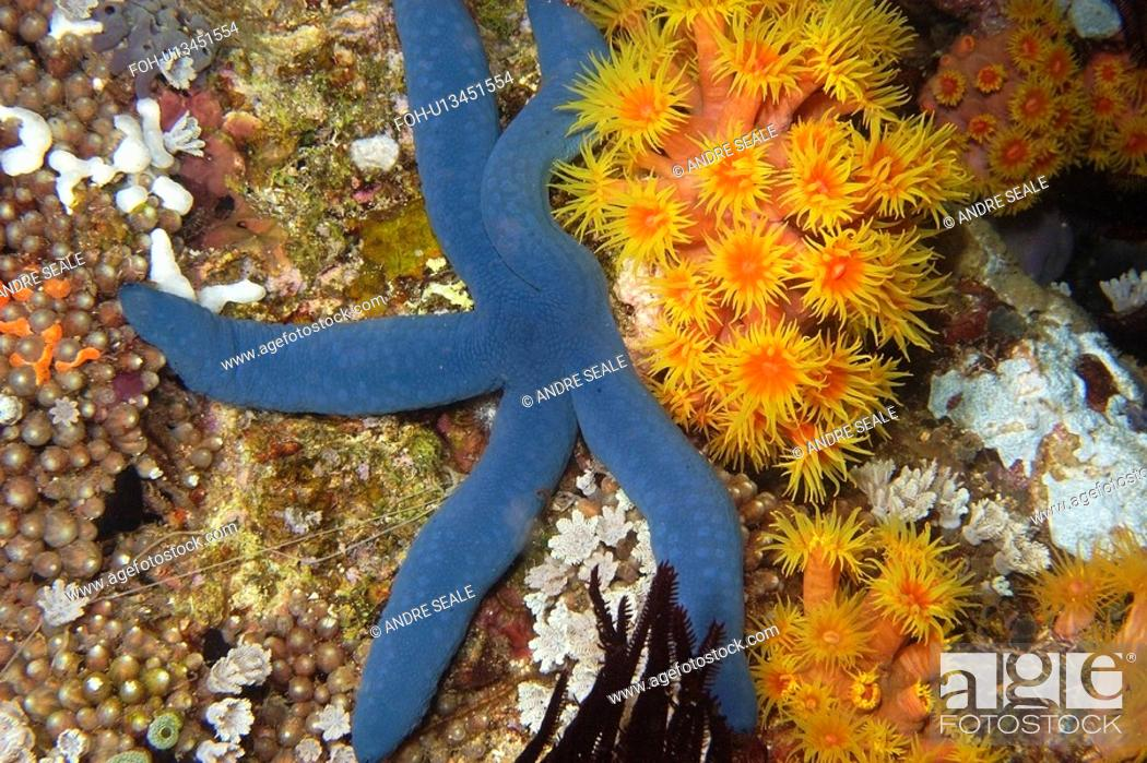 Stock Photo: Blue sea star, Linckia laevigata, and orange cup coral, Tubastrea faulkneri, night, West Escarceo, Puerto Galera, Mindoro, Philippines.