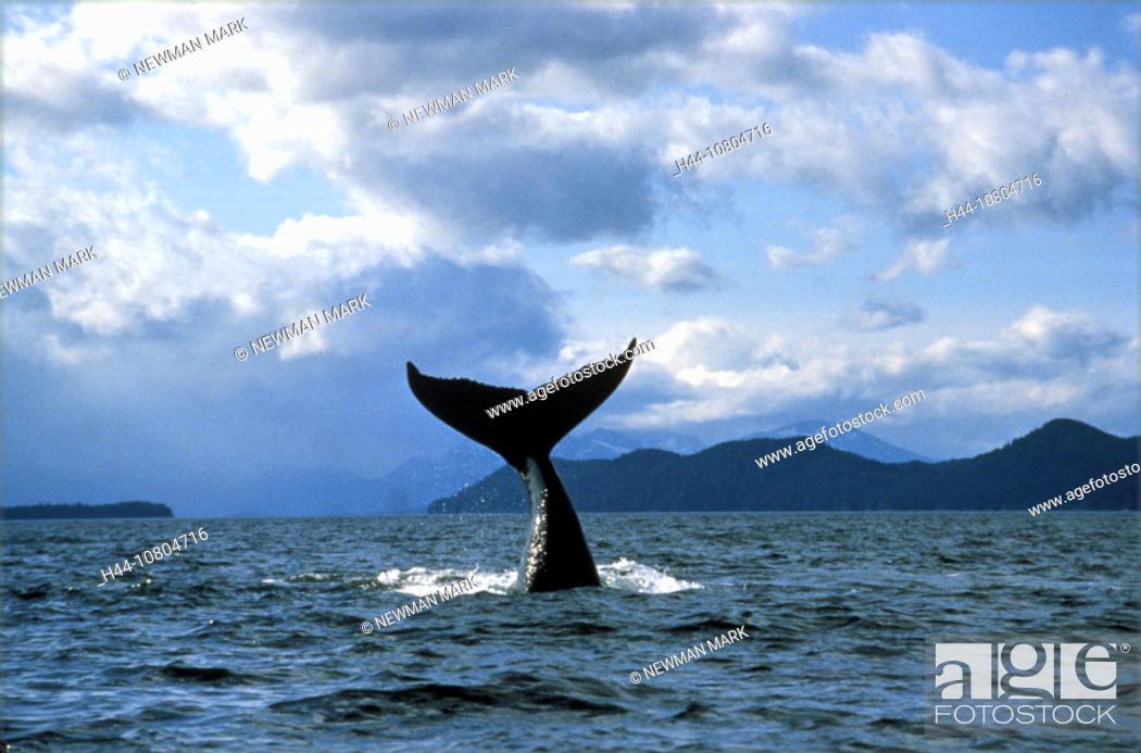 Stock Photo: animal, animals, coast, hump whale, Megaptera novaeangliae, sea, tail fin, Whale.