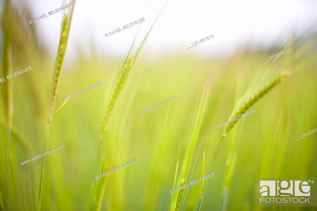 Stock Photo: Cereal field in spring.