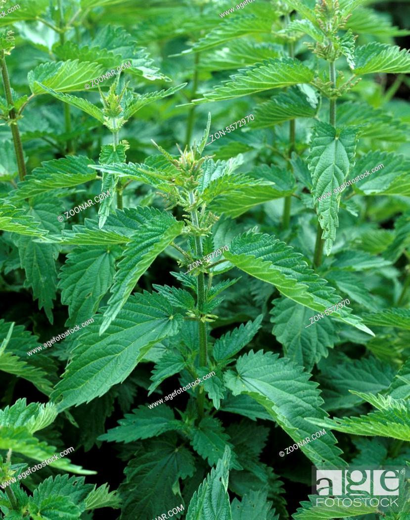 Stock Photo: Brennnessel, Urtica Dioica, Grosse Brennnessel, Heilpflanzen,.