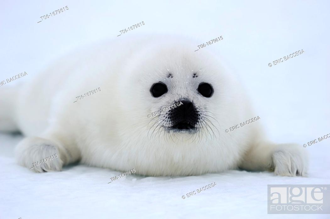 Stock Photo: Harp seal pup white coat 4 to 14 days old on ice Phoca groenlandicus Magdalen Islands, Quebec, Canada.