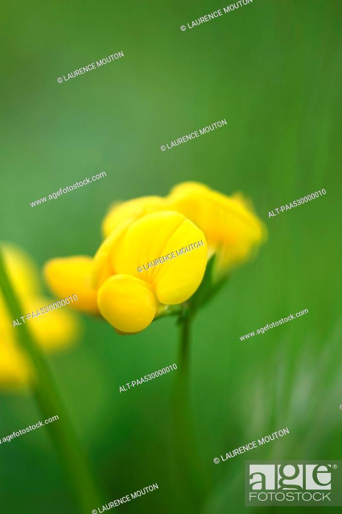 Stock Photo: Yellow wallflower, close-up, selective focus.