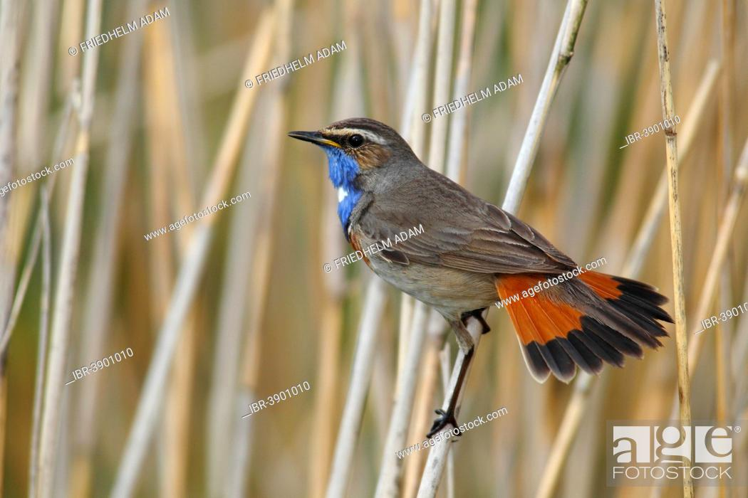 Stock Photo: Bluethroat (Luscinia svecica cyanecula) displaying male perched on reed, Lauwersmeer National Park, Holland, The Netherlands.