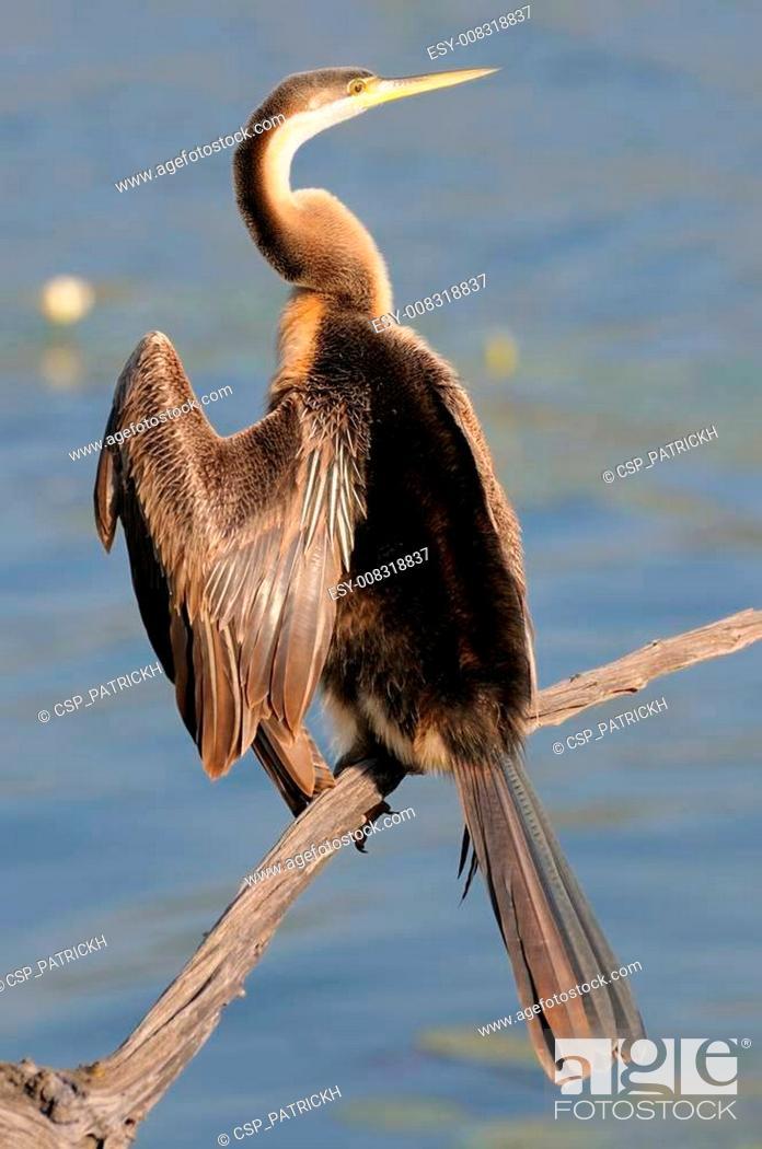 Stock Photo: African Darter.