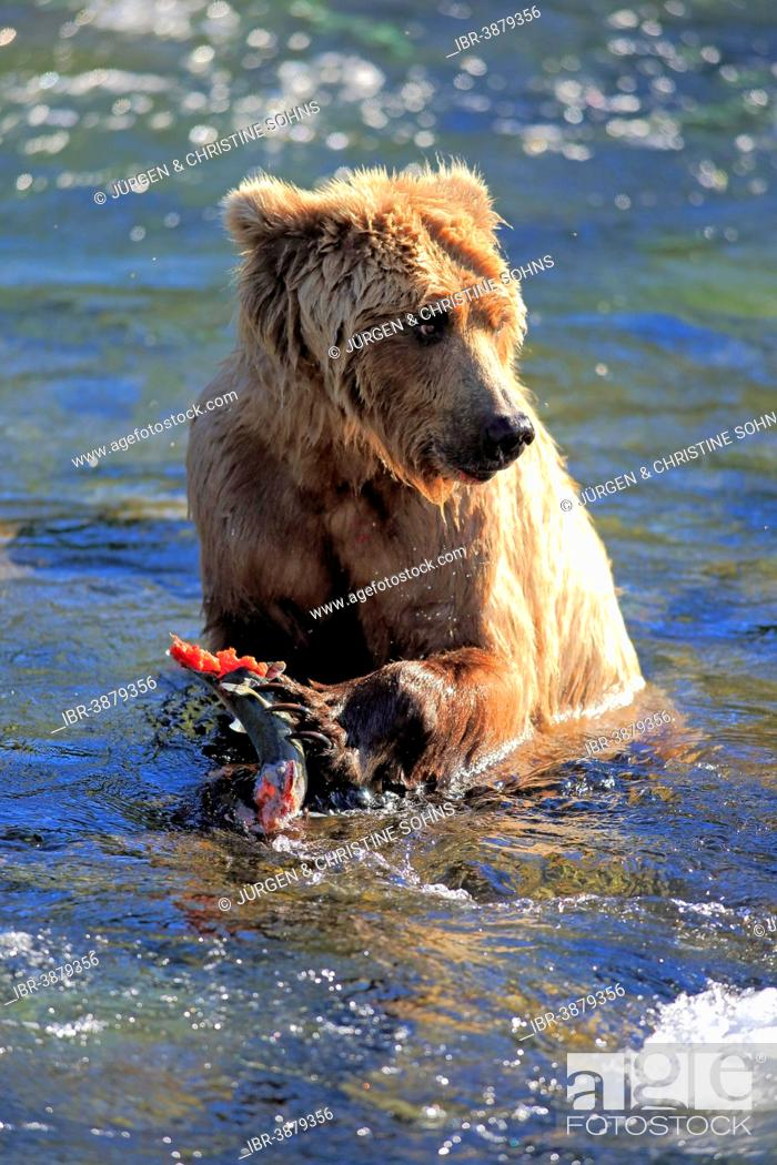 Stock Photo: Grizzly Bear (Ursus arctos horribilis) adult, feeding in the water, Brooks River, Katmai National Park and Preserve, Alaska, United States.