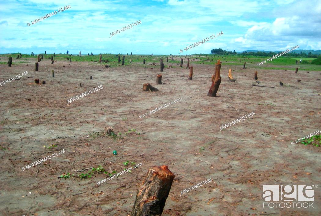Stock Photo: Land grabbers chopped down more than 30, 000 Jhau tamarisk trees at Shaporirdwip of Teknaf upzila in Cox's Bazar district recently.