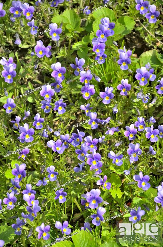 Stock Photo: Violets - floral background.
