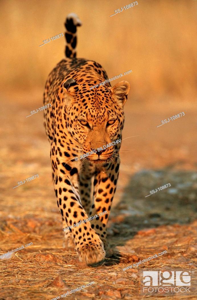 Stock Photo: Panthera pardus / leopard - going.